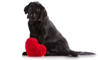 Congestive-Heart-Failure-in-Dogs Black Lab with heart