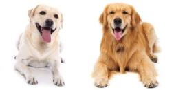 labrador-retriever-vs-golden-retriever cp
